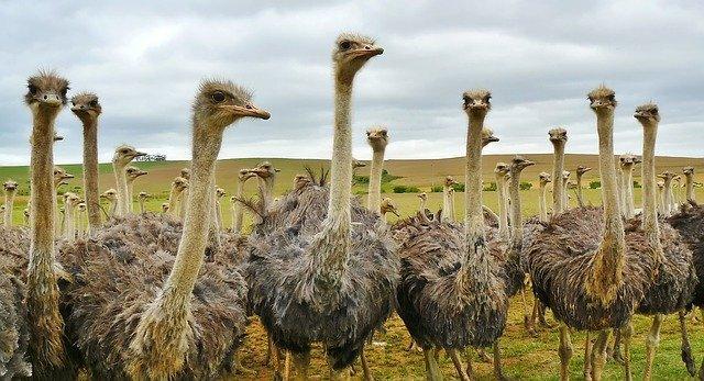 qual a diferença entre ema e avestruz