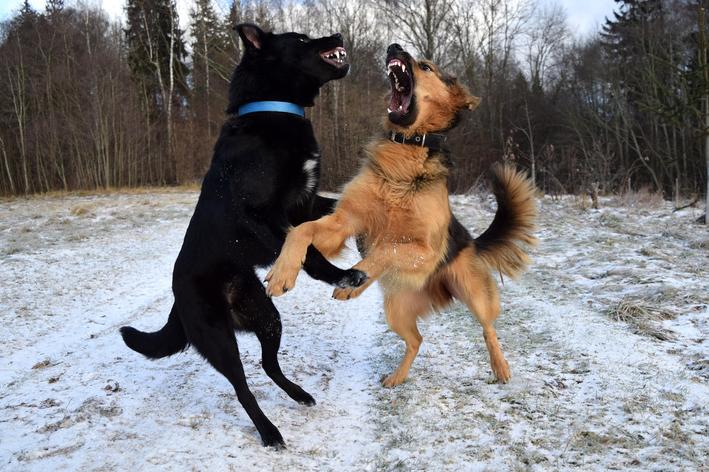 Cachorro brigando: o que fazer e como prevenir