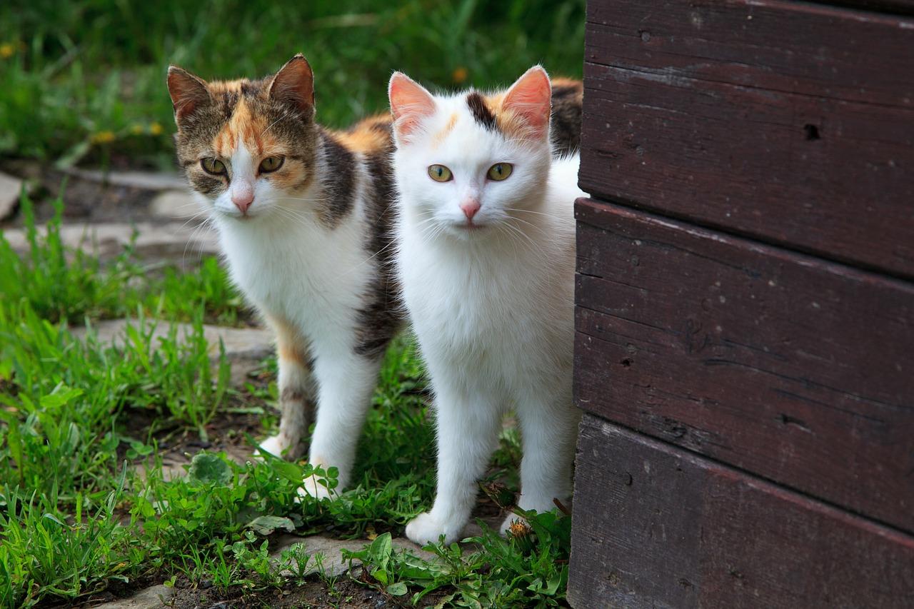 como acostumar um gato com outro