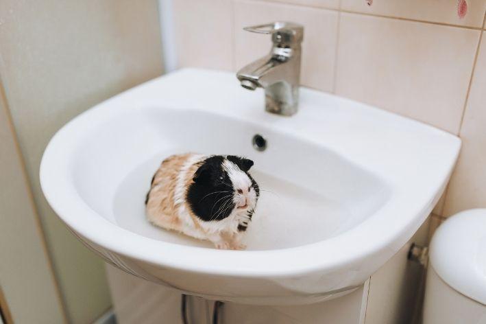 aprenda como dar banho em porquinho da índia