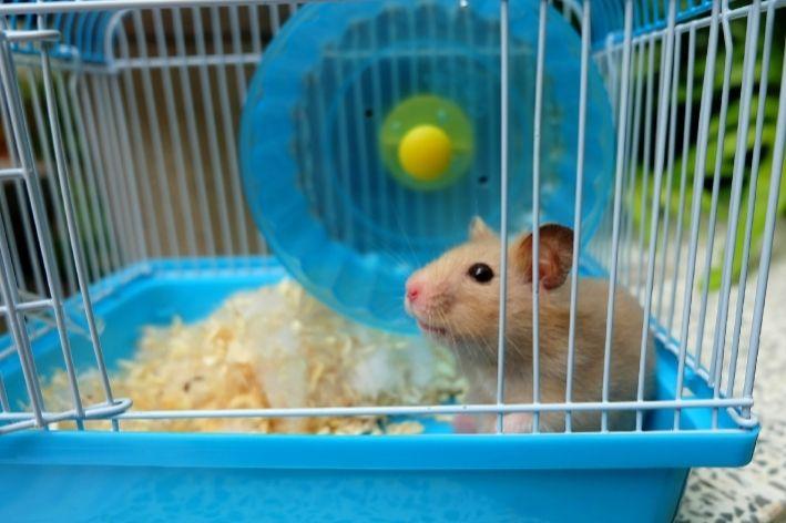 como saber o sexo do hamster
