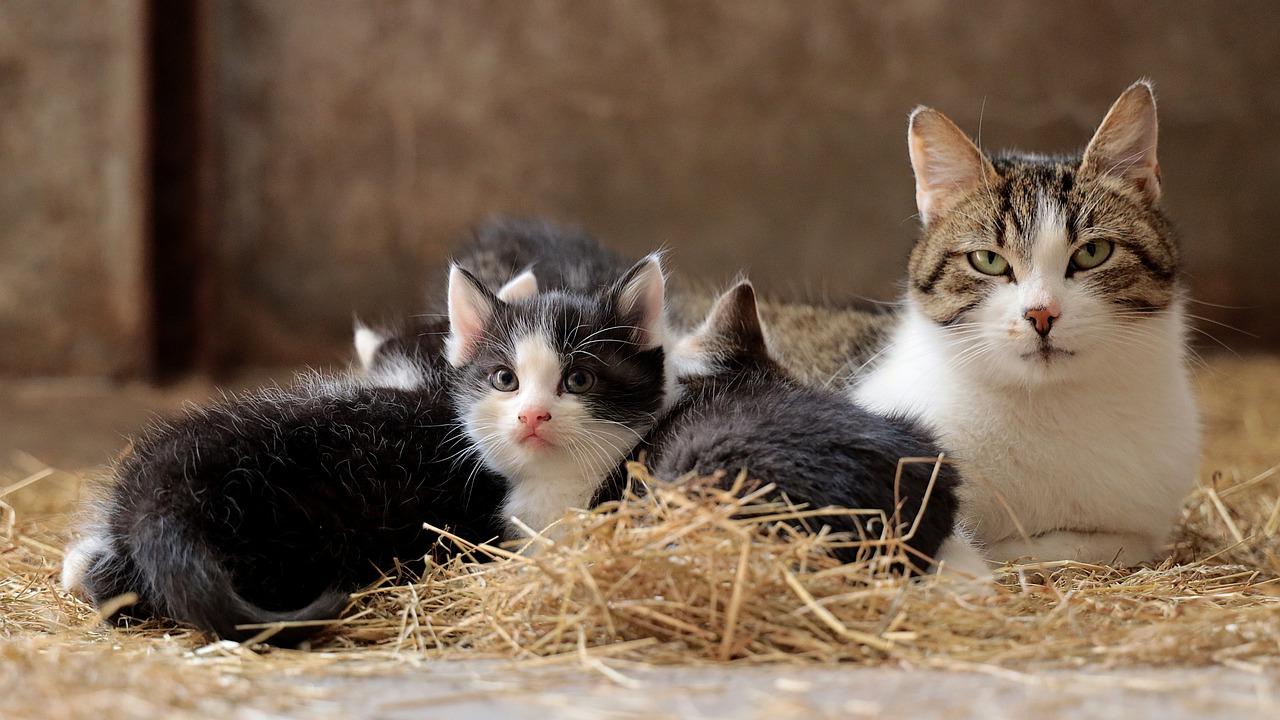 Como saber se a gata tá grávida