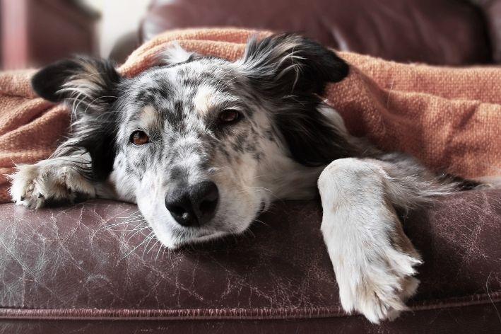 como tratar doença hepática em cães