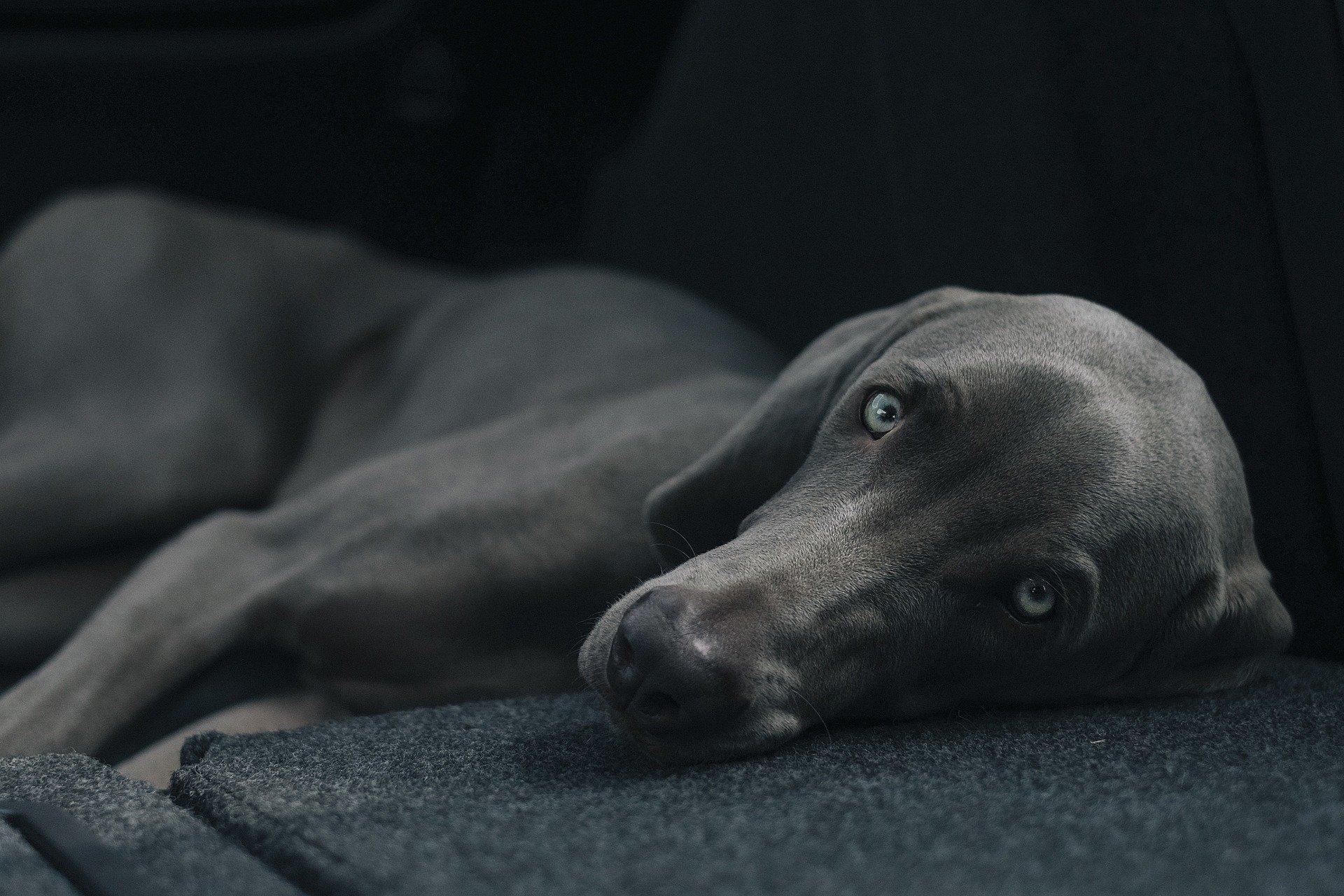 Convulsão em cachorro