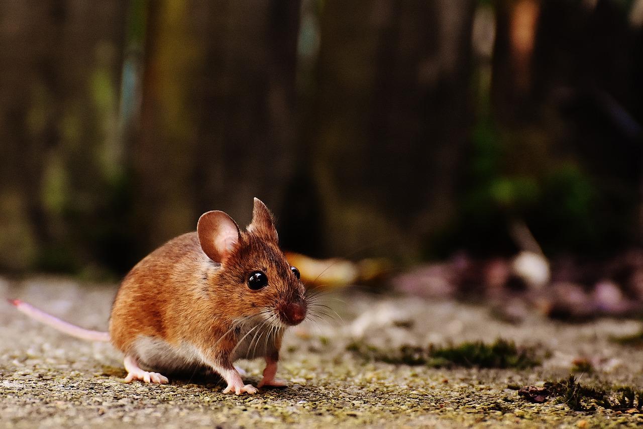 Qual é a diferença entre rato e camundongo?