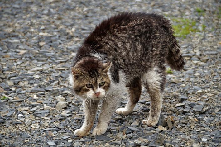 gato-agressivo