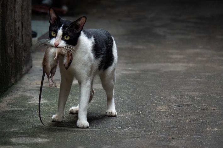 gato come rato