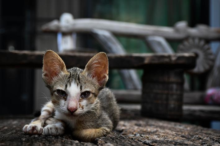 gato desnutrido