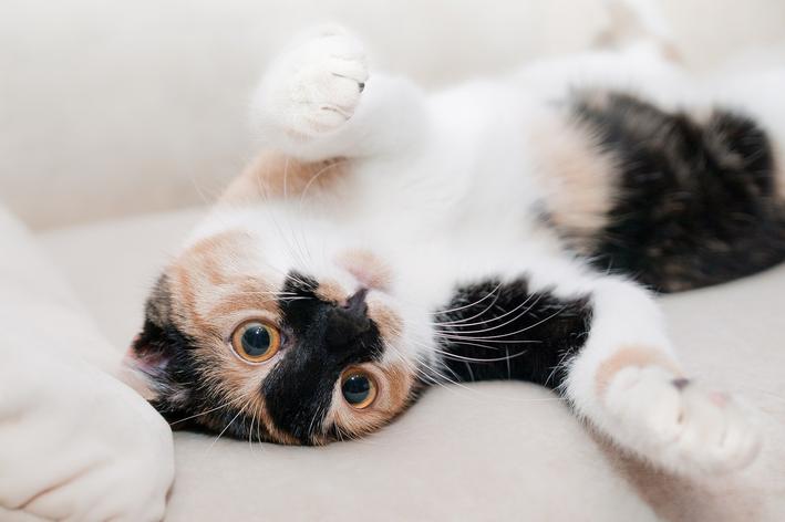 Gato pode comer abacaxi - verdade ou mentira?