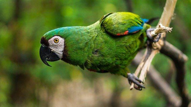 como amansar papagaio