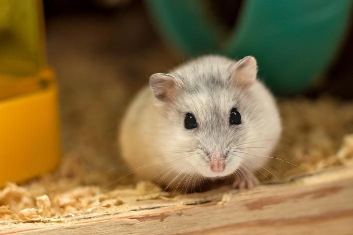 hamster fede