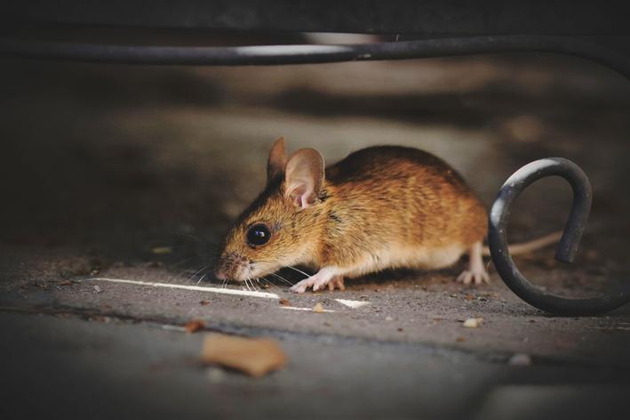 o maior rato do mundo