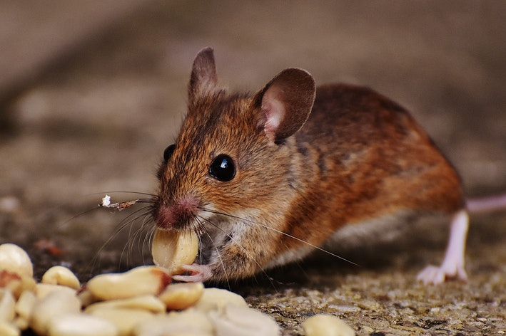 uma foto que mostra o que rato come