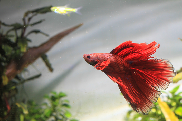 peixe betta gosta de luz