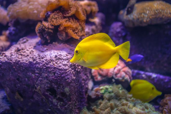 Peixinho recifal amarelo