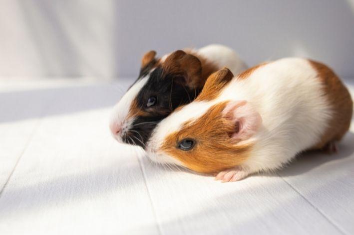 qual a diferença entre hamster e porquinho da índia