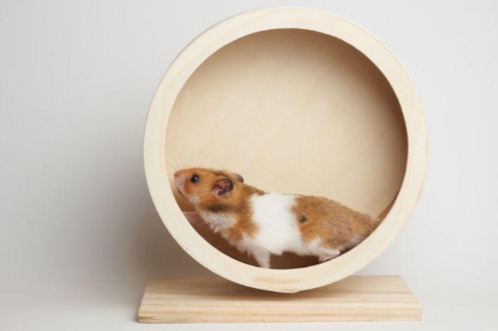 dica de qual a diferença entre hamster e porquinho da índia