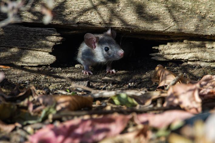 Rato cinza saindo da toca