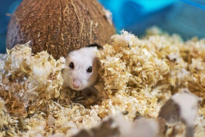 descubra quanto tempo vive um hamster