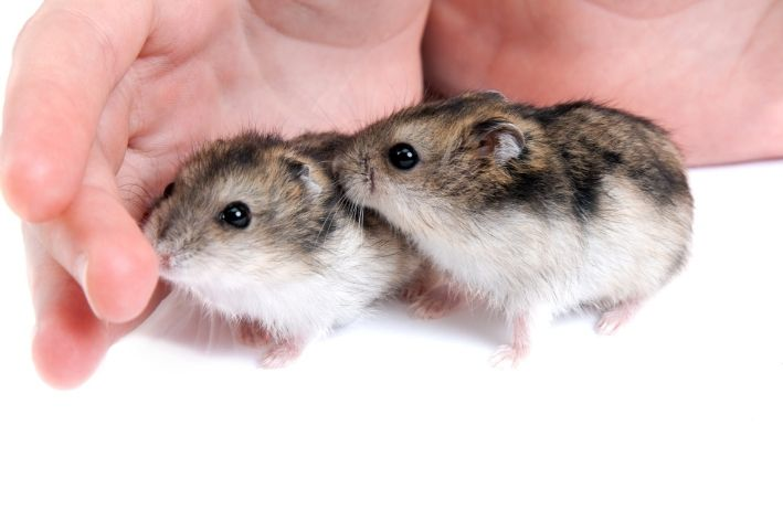 veja quanto tempo vive um hamster