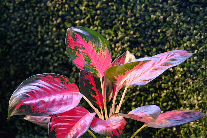 Aglaonema: você já ouviu falar dessa planta?