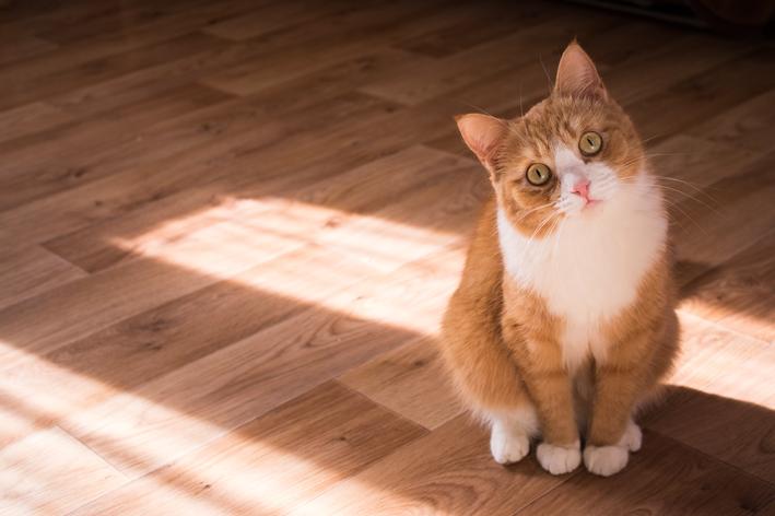 Bicho de pé em gato: será que existe?