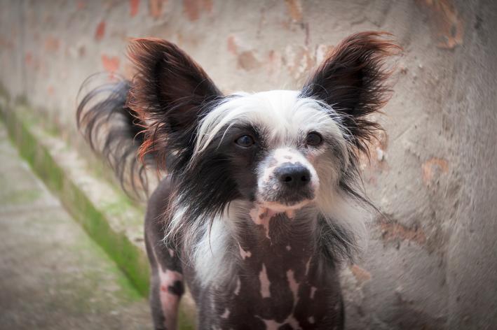 Cachorro pelado: conheça 4 raças de cães sem pelo