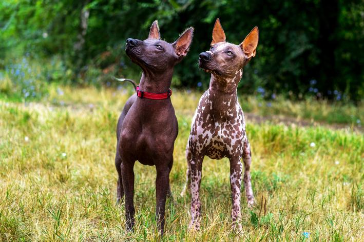 Cachorro pelado: o incrível Cão Pelado Mexicano