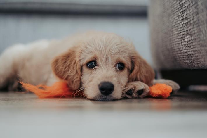 Como acalmar filhote de cachorro desde o primeiro dia