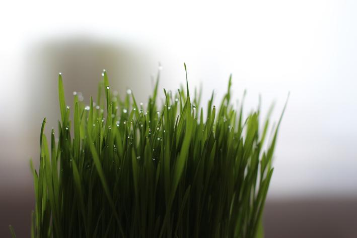 Benefícios da grama de alpiste
