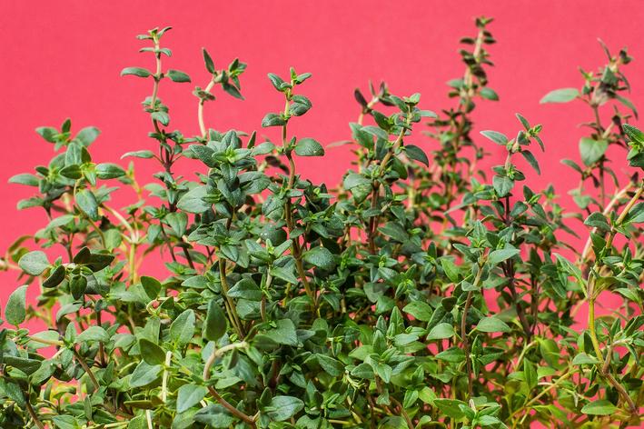 Descubra aqui como plantar tomilho!