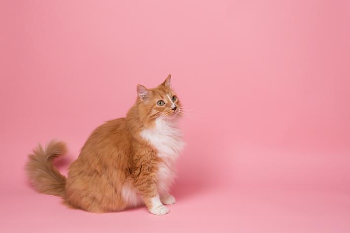 Esplenomegalia em gatos: o que é e como tratar