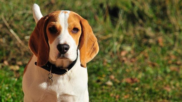 cachorro orelhudo