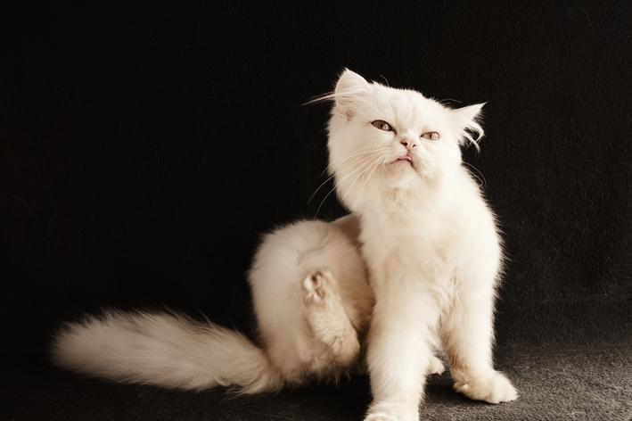 Qual o melhor antipulgas para gatos?