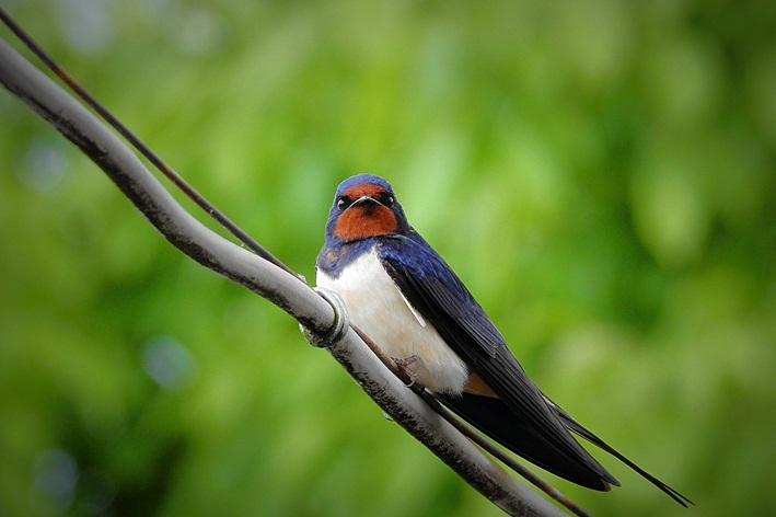 pássaro andorinha