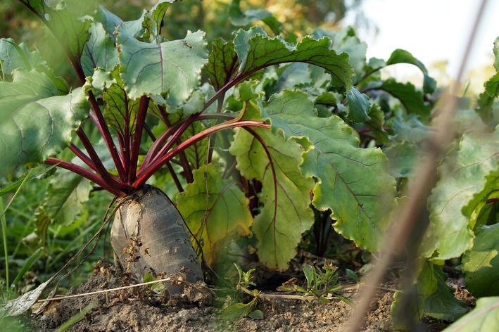 Descubra como plantar beterraba em casa