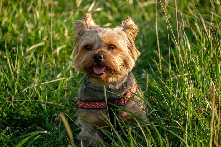O milho de pipoca para cachorro é seguro?