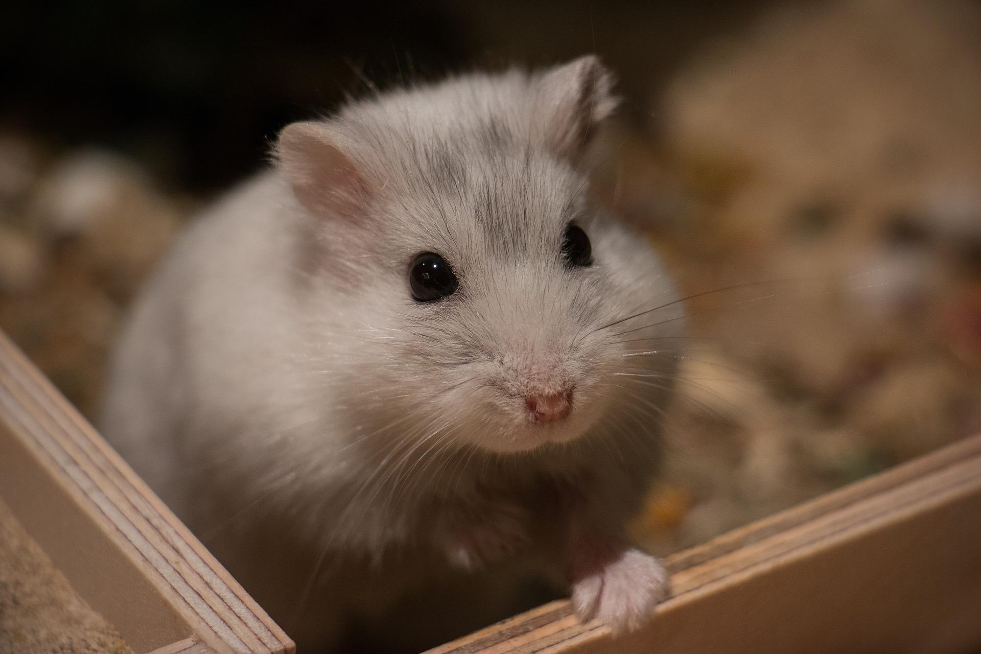 roedores de estimação