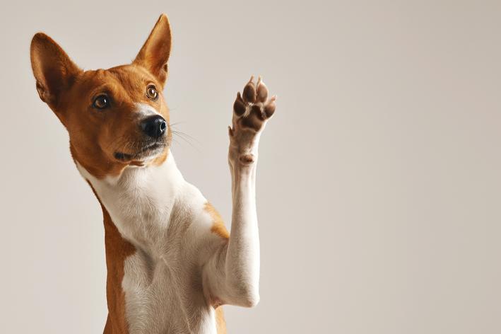 cachorro pode comer castanha de caju