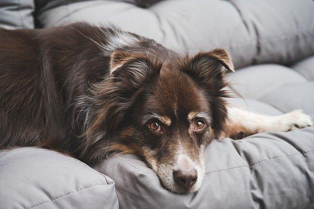 infecção urinária em cachorro