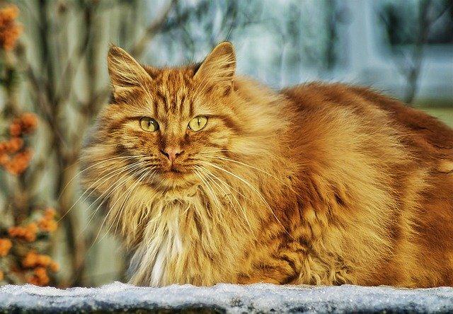 prolapso retal em gato