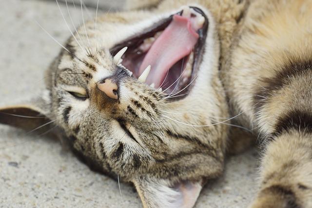 gengivite em gatos