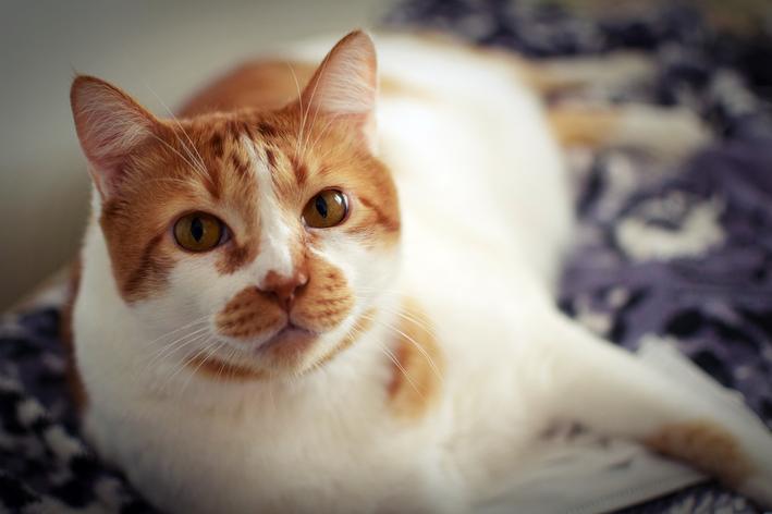 malassezia em gatos