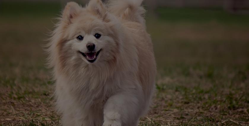 raça de cachorro pequena